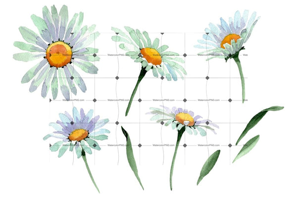 Big White Chamomile Watercolor Png Flower