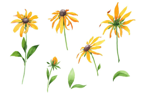 Black-eyed Susan/Rudbeckia hirta Watercolor png Flower