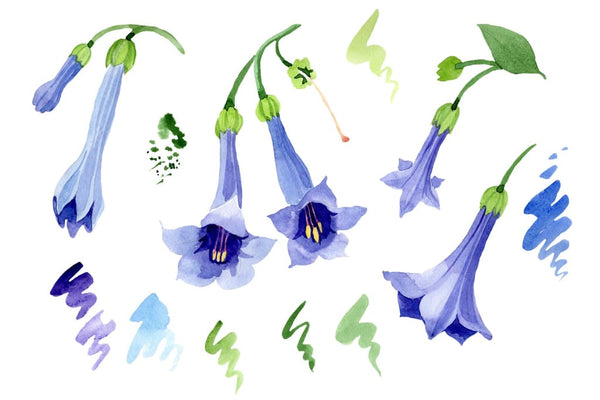 Brugmansia blue Watercolor png Flower