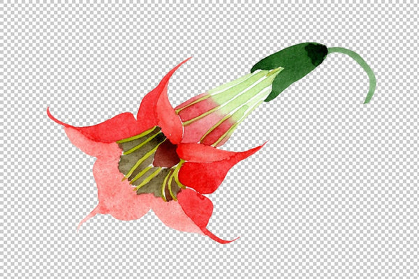 Brugmansia red flower Watercolor png Flower