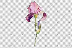 Çermî ya Irises Watercolor Png Flowers