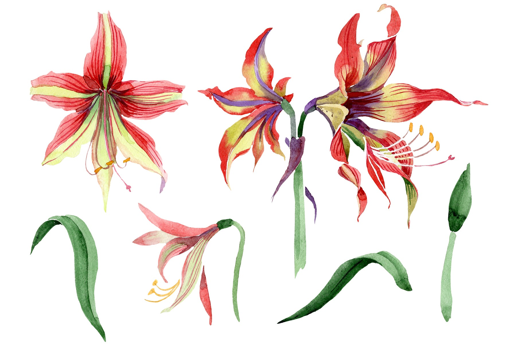 Hippeastrum red and yellow flower Watercolor png