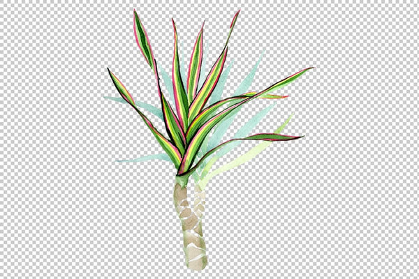 Dracaena maraginata tricolor Watercolor png Flower