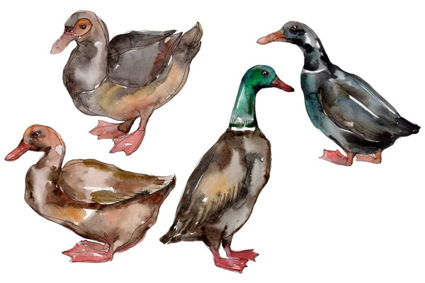 Farm animals: ducks Watercolor png Flower