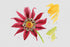 products/flower-red-gazania-png-watercolor-set-background-botanical-colorful-drawing-drawn-watercolorpng_184.jpg