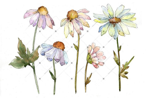 Watercolor Daisy royalty free images