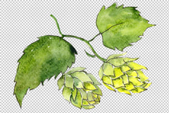 Hops tumbuhan Watercolor png Flower