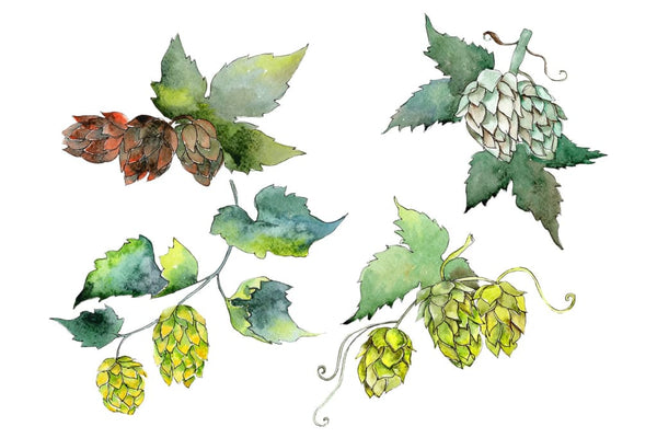 Hops Watercolor png Flower