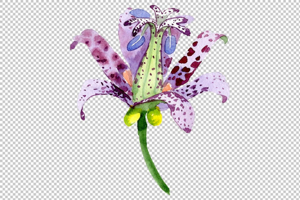 Lily toad watercolor png Flower
