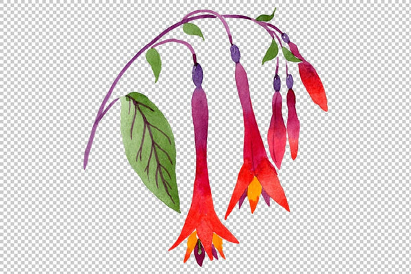 Orange-red Fuchsia watercolor png Flower