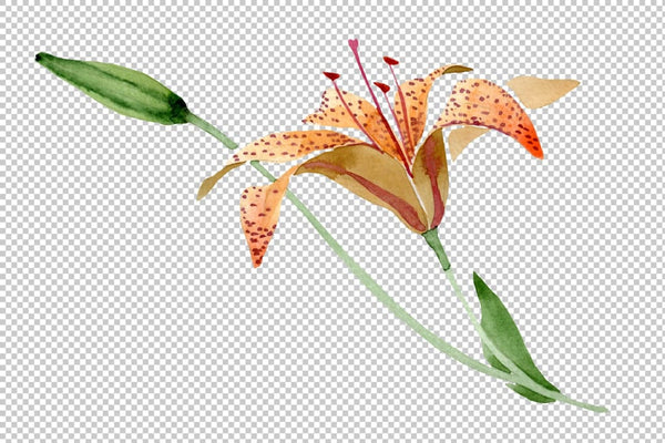 Orange spotted lily watercolor png Flower