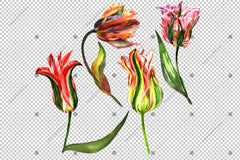 Pink Tulip Flowers Watercolor Png Flower