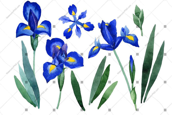 Purple Irises Flowers Watercolor Png Flower