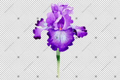 Purple Irises Watercolor Png Flowers