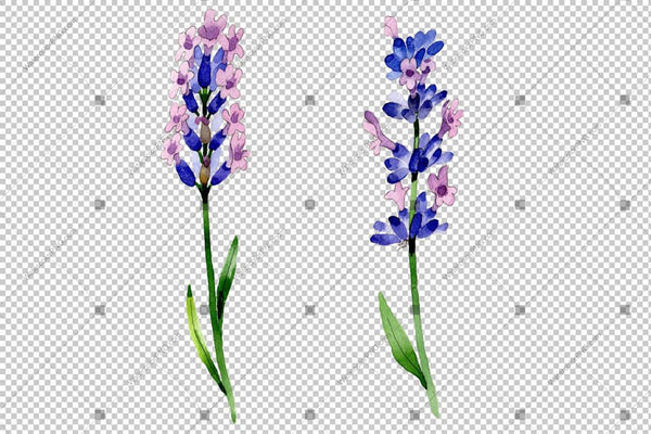 Purple Lavender Flowers Png Watercolor Flower