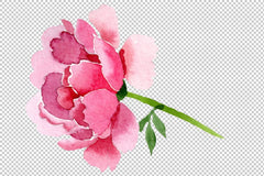 Raspberry red peonies Flower watercolor png Flower