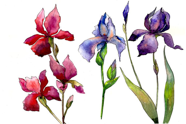 Red and purple irises flowers watercolor PNG Flower