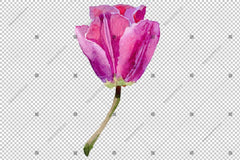 Red And Purple Tulip Flowers Watercolor Png Flower