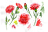 Red Dianthus Png Watercolor Flower Set Flower