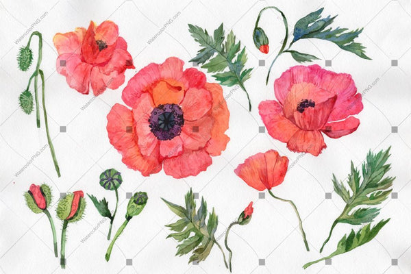 Red Poppy Png Watercolor Flowers Flower