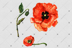 Red Poppy Wildflower Flower In A Hand-Drawn Watercolor Png Style Isolated Flower