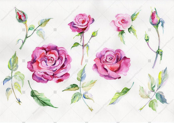 Rose Wildflower Flower In A Hand-Drawn Watercolor Png Style Isolated Flower
