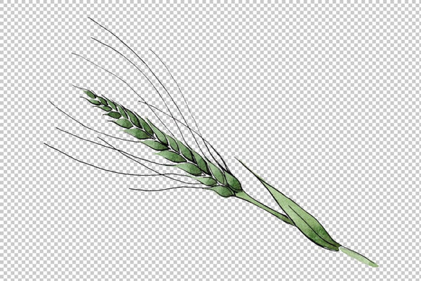 Spike of wheat Watercolor png Flower