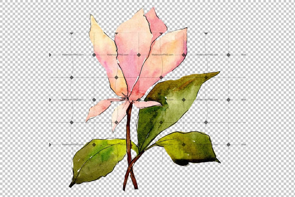 Tender Pink Magnolia Png Watercolor Set Flower