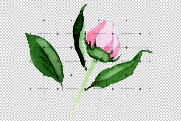 Tender Pink Peony Png Watercolor Set Flower