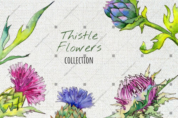 Thistle Flowers Collection Png Watercolor Set Digital