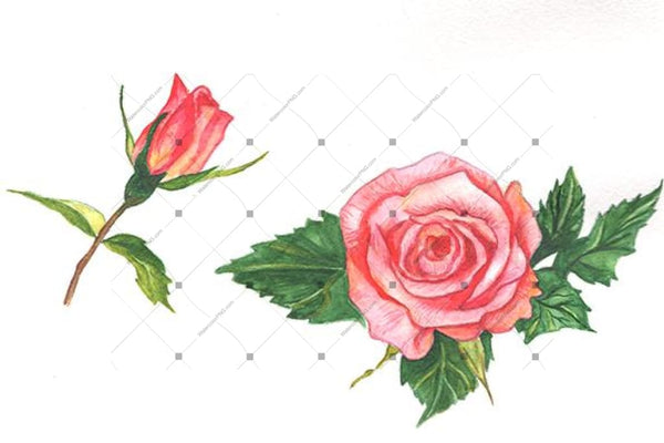 Two Red Roses Png Watercolor Set Flower