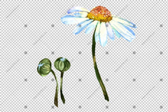 Putih Daisy Flowers Watercolor Png Flower