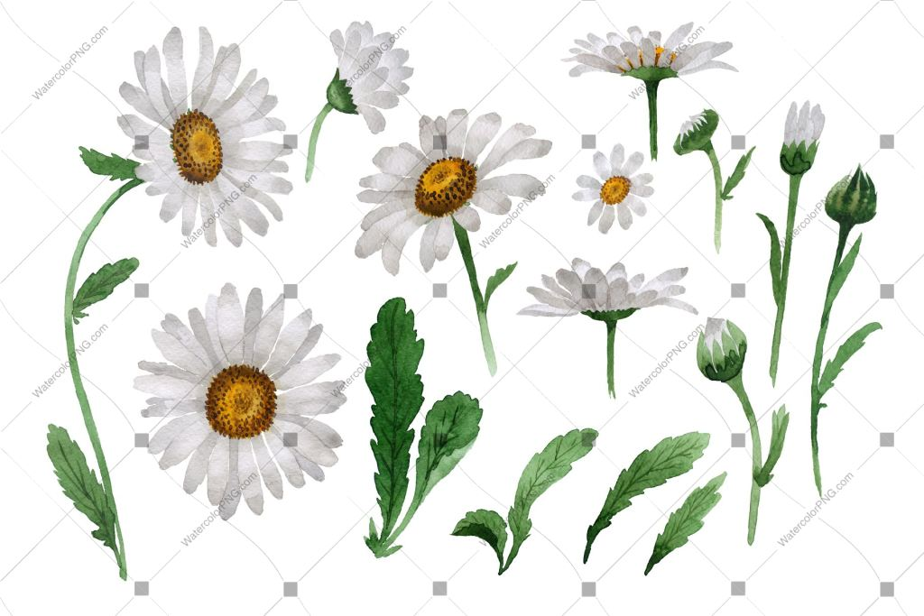 White Daisy Png Flowers Watercolor Watercolorpng