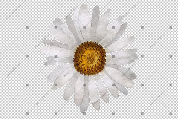 White Daisy Png Flowers Watercolor Flower