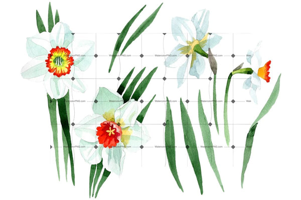 White narcissus Watercolor png Flower