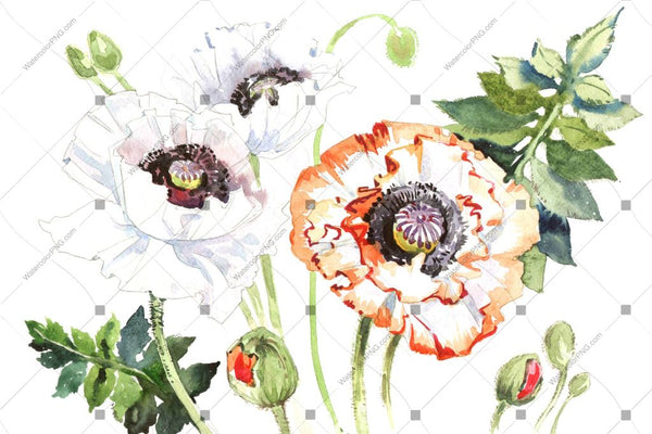 White Poppy Watercolor Flowers Png Flower