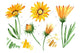 Wildflower yellow gazania PNG watercolor set