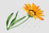 products/wildflower-yellow-gazania-png-watercolor-set-background-botanical-colorful-drawing-drawn-flower-watercolorpng_793.jpg