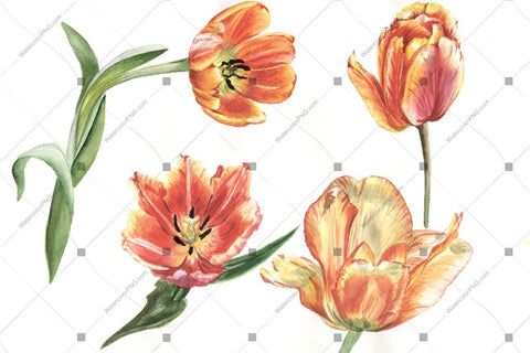 Yellow Tulip Flowers Watercolor Png Flower
