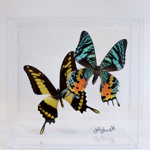 Butterfly Display (7x7)