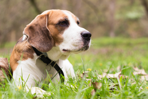 Natural Remedies Digestive Health in Dogs