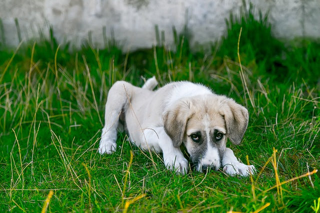 Symptoms of Urinary Tract Infections in Dogs and Natural Treatments