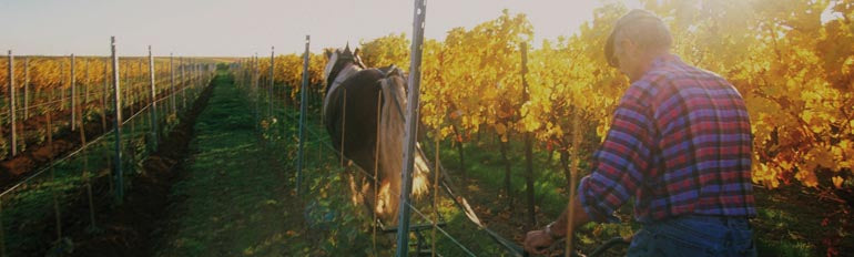 Wineyard picture 1