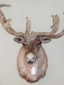 Felted Antler Caribou Shoulder Mount