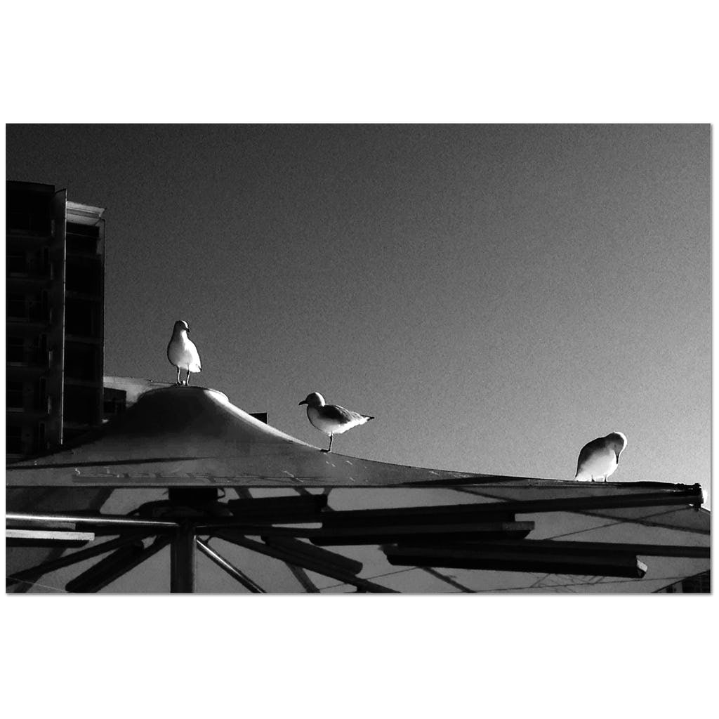 Black & White Seagull - Sydney - Study - Gyclée Paper Print - Art Beauty Fashion