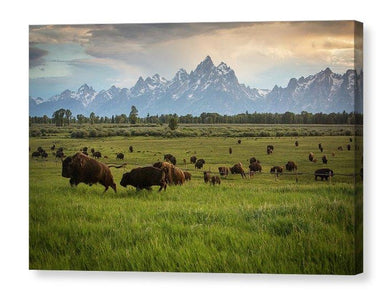 Bison In Jackson Hole Wyoming - Canvas Print