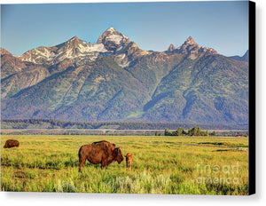Bison In Jackson Hole - Canvas Print
