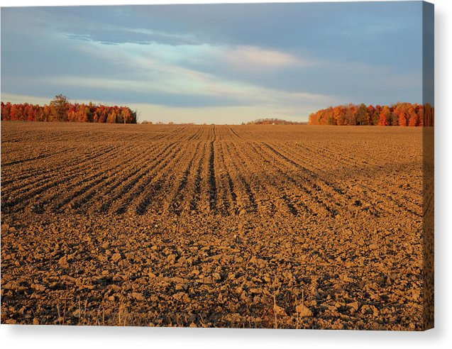 Fresh Cut Corn Field At Sunset  - Canvas Print