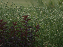 Pure Prairie Ornamental Grasses - Safflower, Oat Grass & Canary Seed
