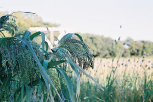 Pure Prairie Ornamental Grasses - Mock Rush, Millet, Wheat